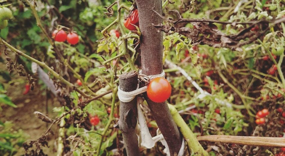 Close-up of cherry tomatoes growing on tree