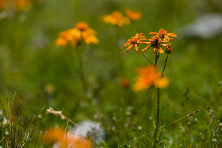 Orange Beauty In Nature Blooming Close-up Day Field Flower Flower Head Fragility Freshness Grass Growth Nature No People Orange Color Outdoors Petal Plant