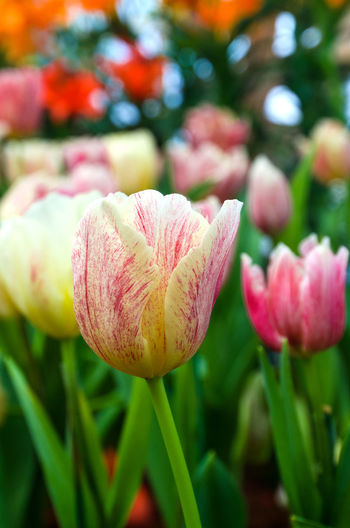 Close-up of pink tulips blooming outdoors