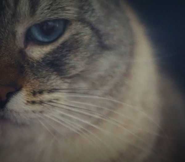 Cats Animal Eye Animal Themes Blue Eyes Cat Cat Lovers Cats Of EyeEm Catsofinstagram Close-up Domestic Animals Domestic Cat Feline Half A Cat Face Indoors  Kitty Cat Mammal No People One Animal Orange Nose Pets Whisker