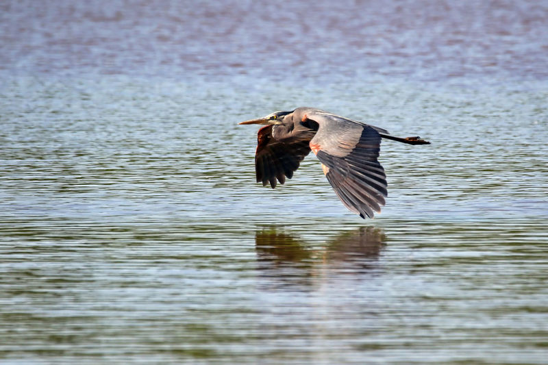 Great Blue Heron Animal Beauty In Nature Bird Day EyeEm Nature Lover Flight Focus On Foreground Glass Great Blue Heron Low Flying Nature No People Outdoors Reflection Rippled Selective Focus Spread Wings Zoology