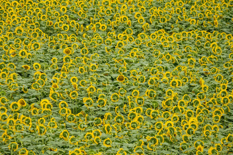 Please take your eyes. EyeEmNewHere Sunflower Backgrounds Biology Close-up Day Freshness Full Frame Green Color Microbiology Nature No People Plant Science Yellow