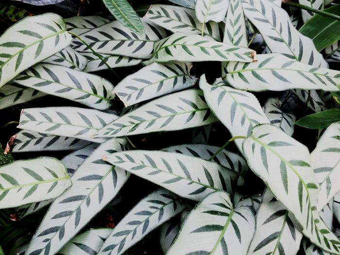 Copy Space Backgrounds Calathea Tropical Exotic Full Frame Backgrounds No People Growth Plant Part Close-up High Angle View Nature Leaf Green Color Beauty In Nature Pattern Abundance Plant