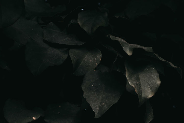 Close-up of dry leaves on black background