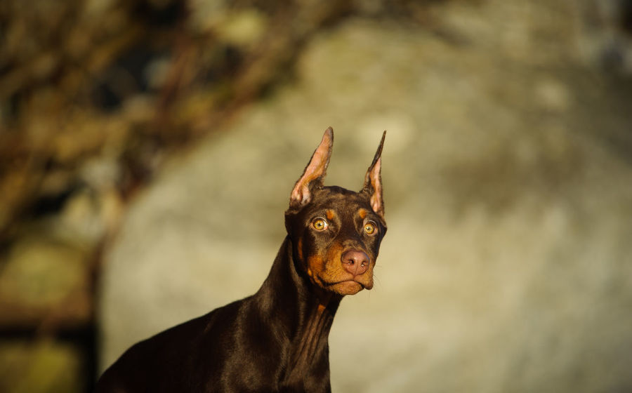 Doberman Pinscher dog Dobermann Red Animal Animal Themes Cropped Ears Day Doberman  Doberman Pinscher Domestic Animals Focus On Foreground Mammal No People One Animal Outdoors Pets Photography Pinscher Portrait Red And Tan Tan