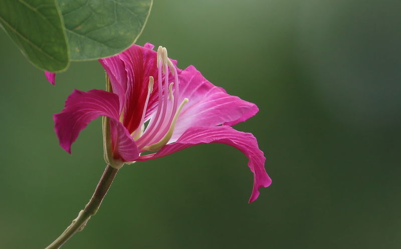 Purple bauhinia flower blooming!🌹🌹 Flower Flower Head Pink Color Close-up Petal Nature Beauty In Nature Plant Bauhinia Bauhinia Blossom Purple Flower Bokeh Green Background Pink Flower Leaves EyeEm Nature Lover EyeEm Best Shots in Hawaii United States
