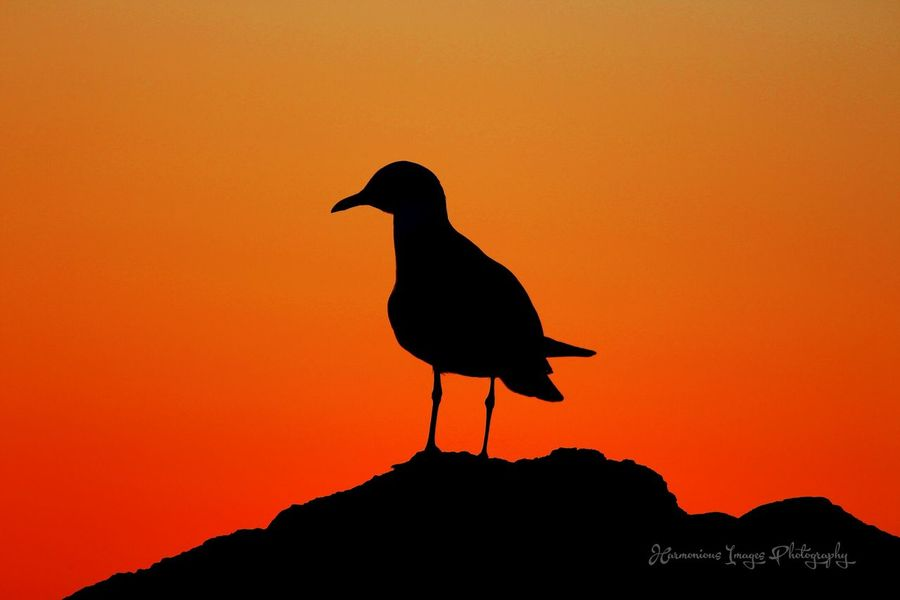 After the golden hour Sunset Silhouettes Twilight Twilight Sky Sunset Lovers Nature Photography Nature_collection EyeEm Best Shots - Nature Sunset Sunset_madness EyeEm Nature Lover EyeEm Best Shots EyeEm Best Shots - Sunsets + Sunrise Sunsetlover Sunset_collection Naturelovers Sky_collection Ambience Bird Silhouette Amity Point