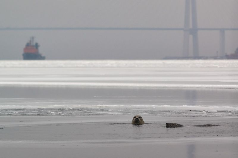 Two larga seals looking out from the water in the Golden Horn bay, Vladivostok, Russia Animal Russian Bridge Far East Golden Horn Bay Winter Ice Seascape Seal Largha Larga Sea Water Beach Horizon Over Water Nature Sky Scenics Day Outdoors