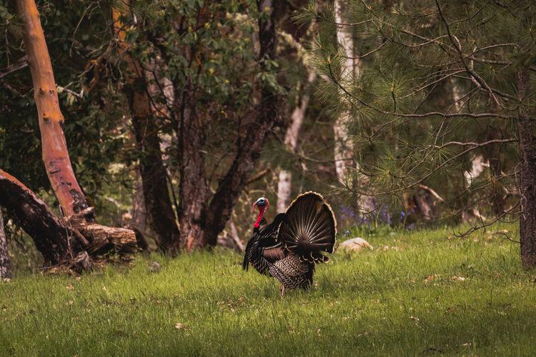 Wild turkey male tom on green grass field in autumn season in forest.