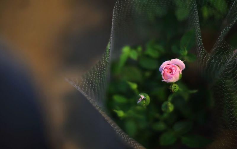 Pink rose wrapped in bouquet