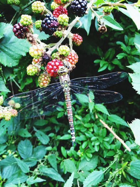 Dragonfly eating Blackberry Dragonfly Blackberry Peaceful Beautiful Colorful Lovetheview Eating Eating Healthy