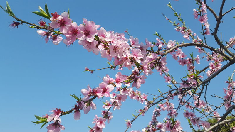 Peach Flowers Blue Sky Growth Beauty In Nature Pink Flower 🌸 Natural Light Photo