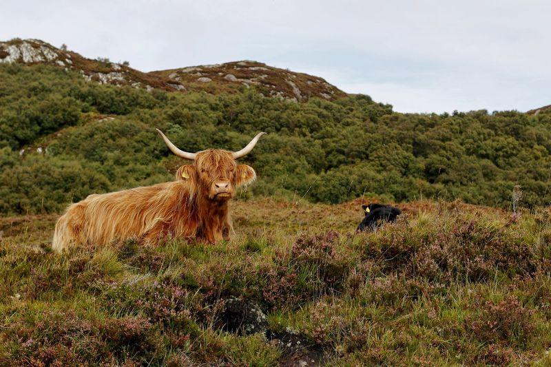 Animal Animal Themes Beauty In Nature Cattle Day Herbivorous Highland Cattle Kyloe Landscape Livestock Nature Outdoors Resting Scottish Highland Cattle Scottish Highlands Tranquil Scene