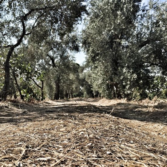 Agriculture Autumn Day Dirt Road Fashion Field Forest Landscape Learning Narrow Nature Nature Olive Olive Tree Outdoors Park Plant Tranquility Traveling Tree
