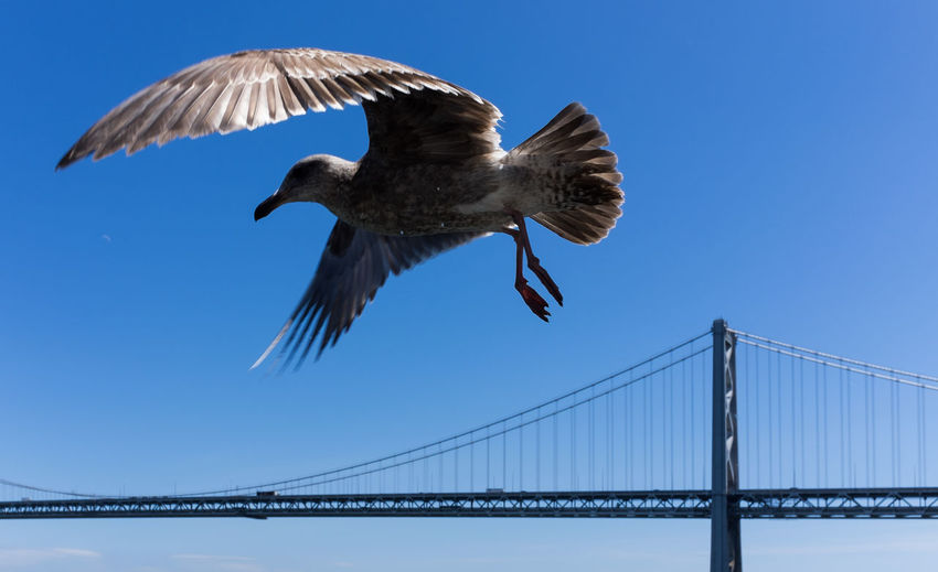 Animals In The Wild Bird Bridge Bridge - Man Made Structure Clear Sky Flying Outdoors Seagull Spread Wings Wildlife Zoology