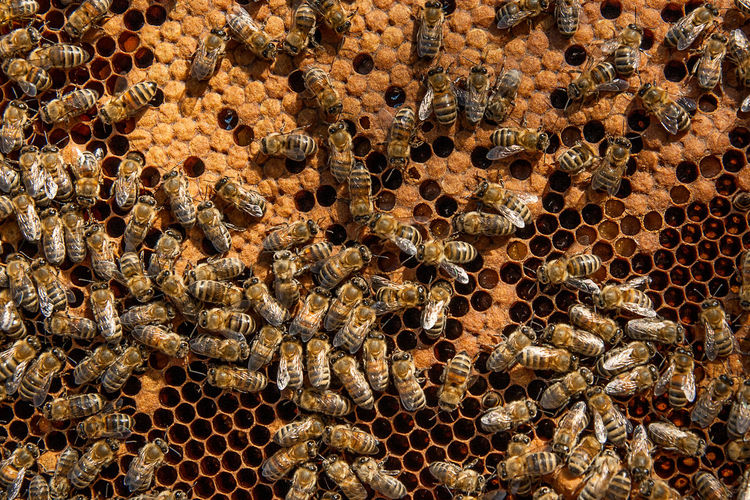 Animal Animal Themes Animal Wildlife Animals In The Wild APIculture Backgrounds Beauty In Nature Bee Beehive Close-up Full Frame Group Of Animals Hexagon Honey Honey Bee Honeycomb Insect Invertebrate Large Group Of Animals No People