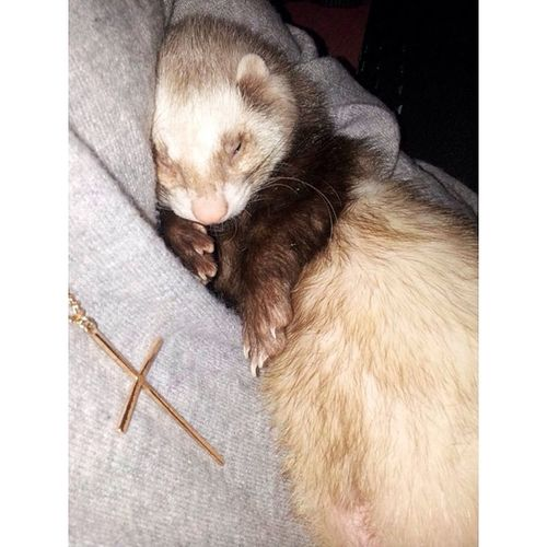 ❤️❤️❤️❤️❤️❤️❤️❤️❤️❤️❤️❤️❤️❤️❤️ My baby boy Neeko is seriously the cutest thing ever!! ❤️❤️❤️❤️❤️❤️❤️❤️❤️❤️❤️❤️❤️❤️❤️ Ferret Ferretmommy Myson MyBabyBoy ilovehimsomuch cuddlemonsters cuddling ferretsofig ferrets socute mymainman ferretlove ferretlover99 @ferretlovers99 @ferretsfavorite