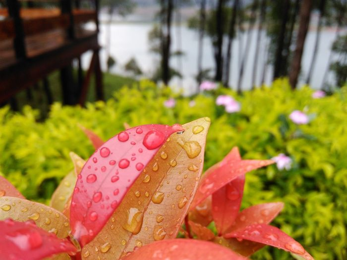 Nature Focus On Foreground Close-up No People Day Leaf Outdoors Growth Pink Color Plant Red Water Beauty In Nature Grass Freshness Fragility Waterdroplets Waterdrops Waterdropsphotography Flower Leaves Colourfulleaves Colours Colours Of Nature
