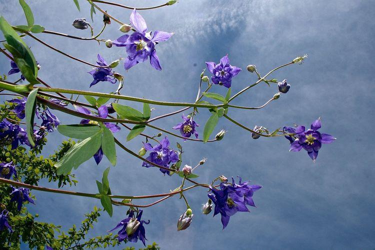 Ancolies avant l'orage. Ancolie Contre-plongée Flore Blossom Campagne Ciel Fleur Flower Jura Macro Nature Nuage Orage Plant Purple Sky Springtime Violet