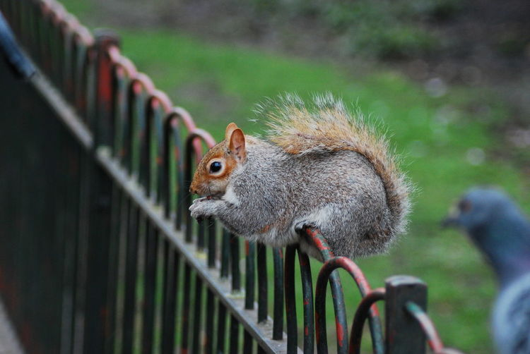 Animal Head  Animal Themes Animals In The Wild Beak Close-up Focus On Foreground Looking No People One Animal Profile Railing Selective Focus Side View Squirrel Tail Wildlife Zoology