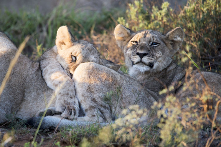 Lions Relaxing On Field
