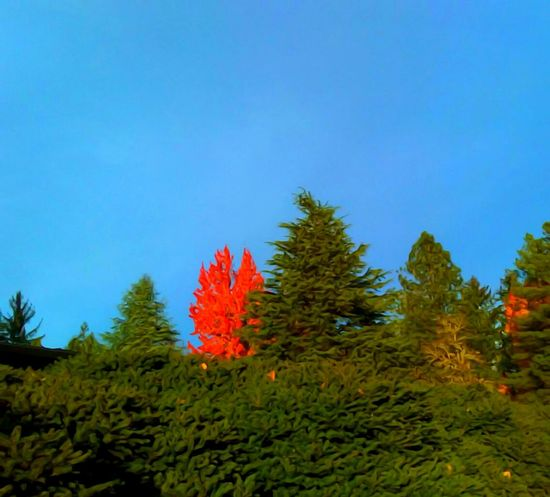 Tree Nature Growth Outdoors Plant Scenics No People Landscape Beauty In Nature Branch Sky Needle - Plant Part Pine Wood Day Yamhill County EyeEm Master Class Pursuit Of Happiness The Week On EyeEem Focus On Foreground Telling Stories Differtenly Freshness Close-up Inspiration Multi Colored Fragility Sommergefühle