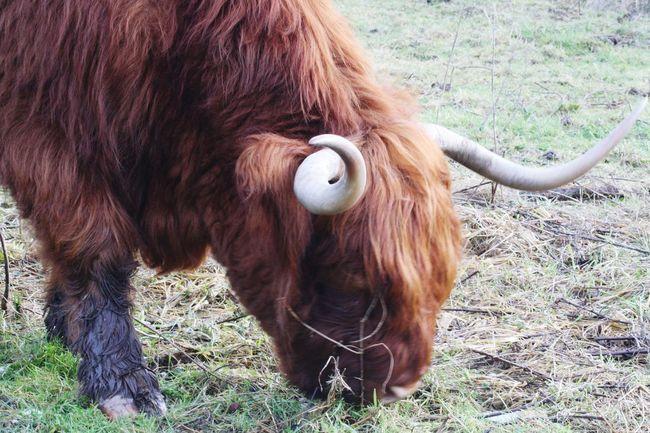 Schotse Hooglanders Sneek