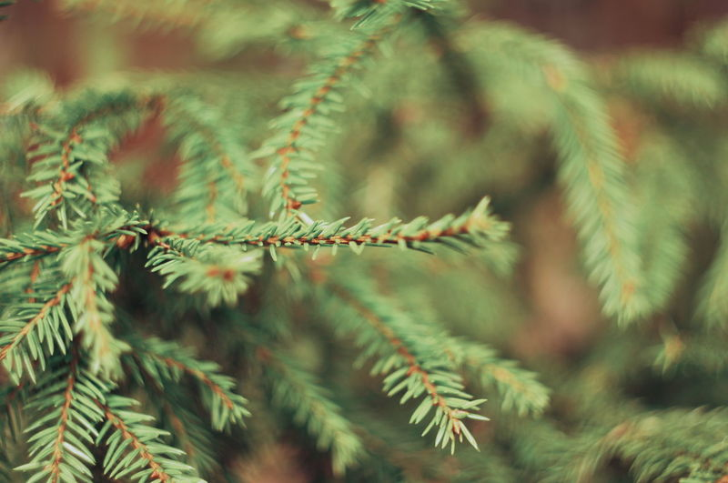 Spruce Tree Fir Tree Pine Tree Pinaceae Needle - Plant Part Cactus Tree Close-up Plant Green Color