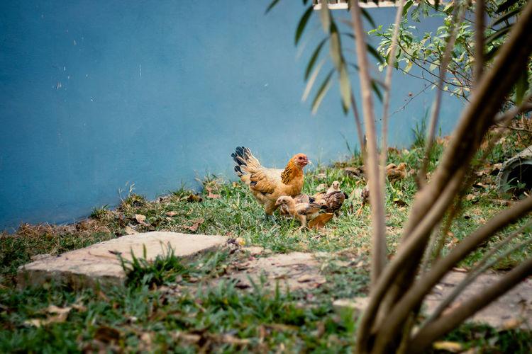The chicken go