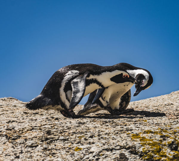 High angle view of penguin on rock against clear blue sky
