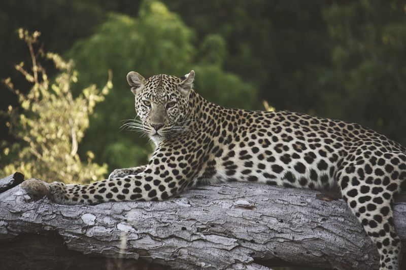 Portrait Of Leopard Relaxing On Fallen Tree