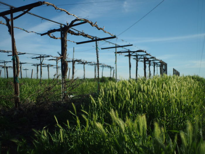 Grass growing on vineyard against sky