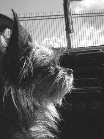 Small Dog Dogs Of EyeEm Black And White Portrait Black And White Collection  Moments Dog Portrait Taking Photos Animal Photography Animal_collection Dogslife Companion Companion Dog Waiting Waiting In The Car Enjoying Life EyeEm Gallery Dog