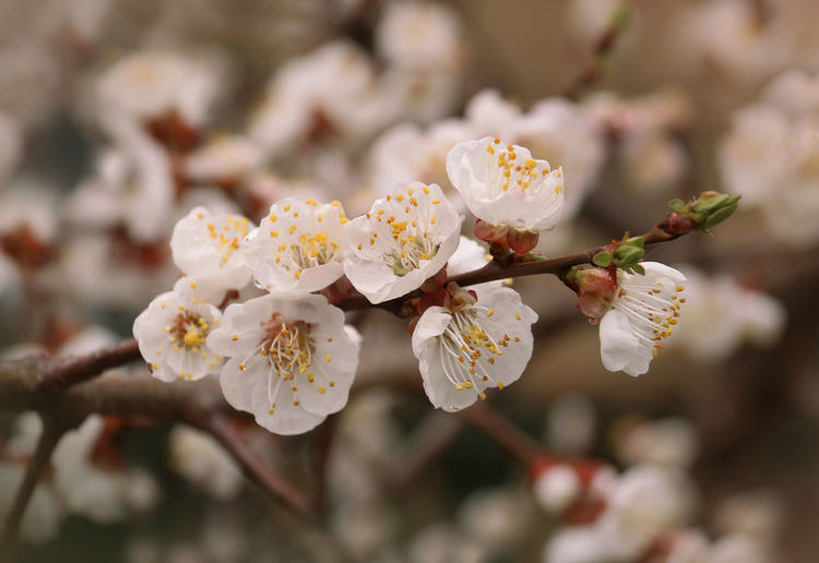 Prunus Armeniaca Flower Flowering Plant Plant Growth Freshness Fragility Beauty In Nature Vulnerability  Springtime Tree Close-up Branch Blossom Twig Focus On Foreground Nature Petal Pollen No People Day Flower Head Apricot Flowers Pollination