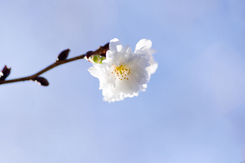 Flowering Plant Flower Fragility Freshness Vulnerability  White Color Plant Beauty In Nature Petal Sky Nature Blossom Flower Head Growth Close-up Inflorescence Springtime Cherry Blossom Tree Twig Pollen No People Outdoors Cherry Tree Plum Blossom