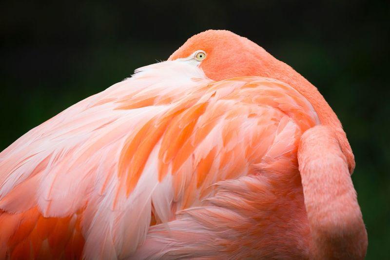 Close-up of american flamingo