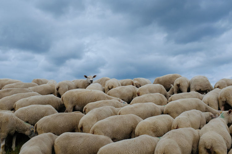 View of sheep against sky