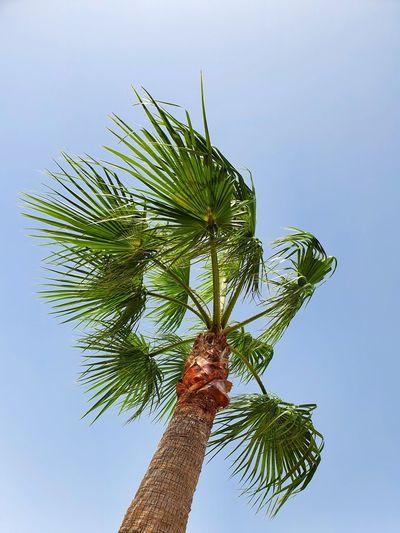 Ibiza palmtrees