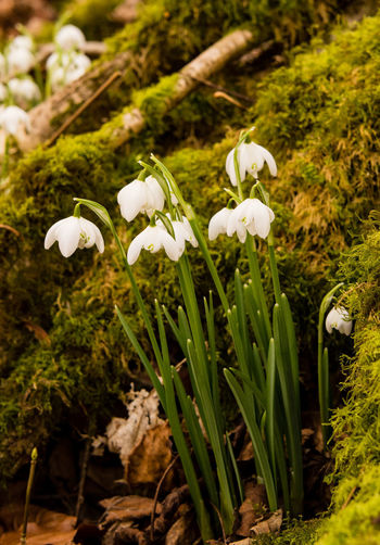 Close-up of snow drops in February, the first sign of spring being on its way. Snowdrops White Snowdrops Snowdrop Plant Growth Flower Flowering Plant Beauty In Nature White Color Fragility Freshness Close-up Focus On Foreground Flower Head Winter Wintertime First Sign Of Spring Moss