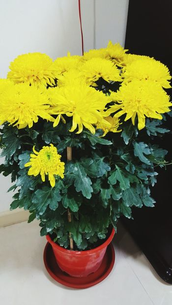 Nature Flower Head Beauty In Nature Freshness Flower Yellow Flower Chysanthemun Potted Plant Plants 🌱 Plants And Flowers Leaves And Flowers Green Color Green Plant Green Decoration With Flowers Flowers, Nature And Beauty Flowerlovers Flower Pot