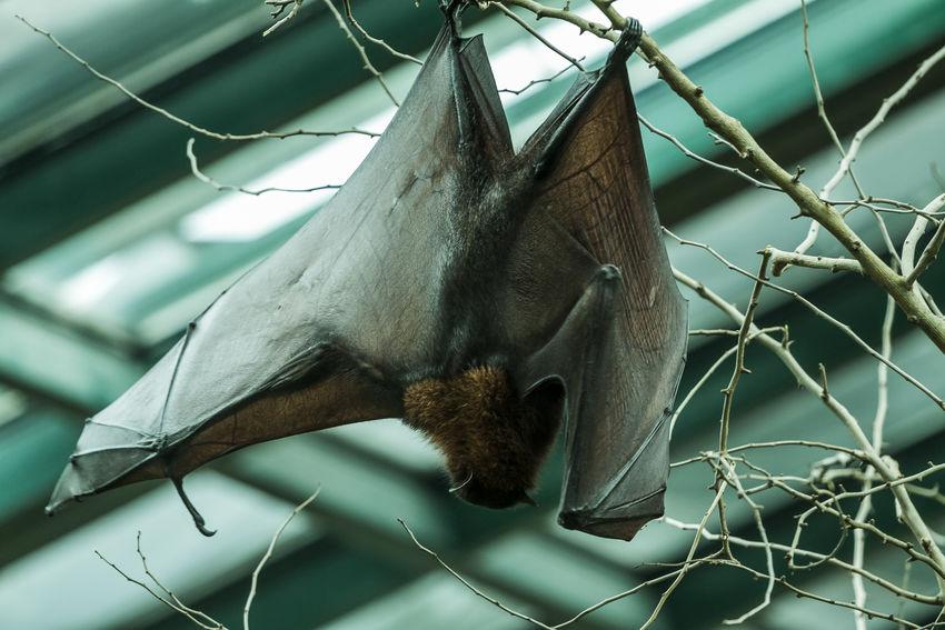 Bat Laurasiatheria Wing Animal Animal Photography Animal Themes Animal Wing Animal Wings Animals Bat Wings Focus On Foreground Hanging Murcielago Murcielagos Nature No People Wings