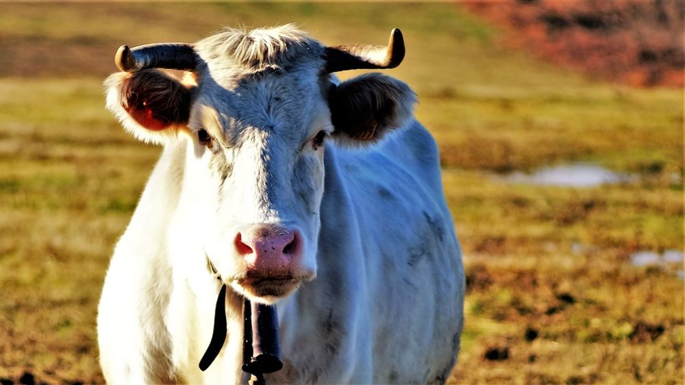 inquisitive cow Animal Themes Close-up Cow Day Domestic Animals Field Focus On Foreground Livestock Mammal Nature No People One Animal Outdoors Portrait