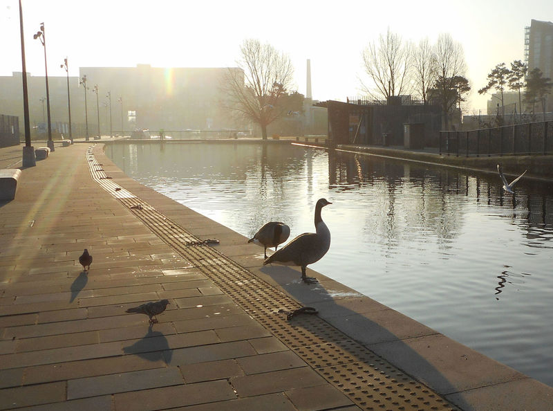 Manchester canal, UK. Bird Calm Canal City Life Geese Manchester Canal Outdoors Reflection Water Waterfront