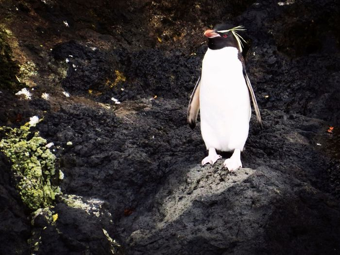 Southern Rock Hopper Penguin Bounty Island Sub Antarctics Bird Bountys Uncommon  Wildlife NZ Birds Vulnerable Penguin No People Outdoors Day