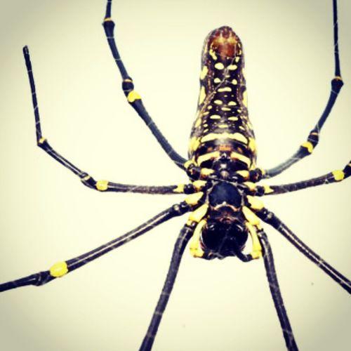 Lancah maung part 3. Spider Spiderworld Ig_spiders Ig_spider labalaba lancah lancahmaung