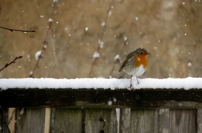 Robin Bird Photography Bird Birds_collection Birds Of EyeEm  Animal Themes Aninallovers One Animal Winter_collection Winter Winter Wonderland Winter Day Wintermood Cold Weather Snowing Snow Wintertime Beautiful Nature Nature Photography Nature_collection Animal_collection Beauty Of Nature January Cold Days Animal Photography
