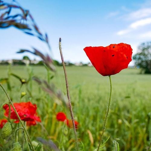 Close-up of red poppy on field against sky
