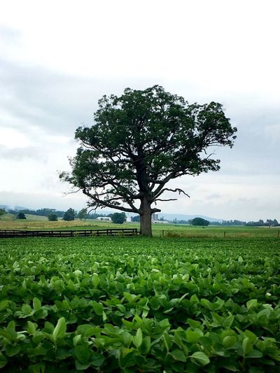 Solitary Farmland Tree Dickinson Township