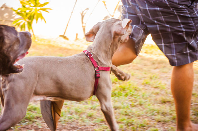 Animal Animal Head  Animal Themes Canine Dog Dog Love DogLove Doglover Dogoftheday Dogs Dogs Of EyeEm Dogs Playing  Dogs Playing Together Dogslife Dogstagram Dog❤ Domestic Animals German Weimaraner Outdoor Playtime Outdoors Pitbull Playing Outside Running Running Dog Two Animals