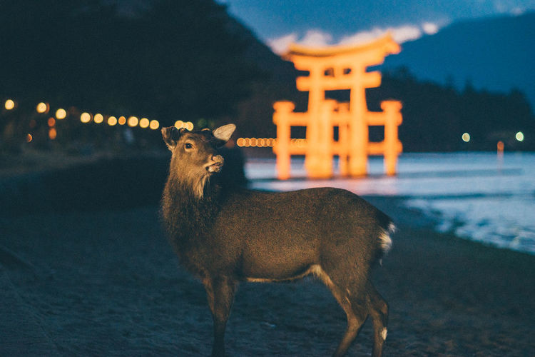 Animal Themes Capture The Moment Deer Deer ♥♥ Japan Japan Photography Japanese  Japanese Culture Japanese Temple Mammal Nature Night Night Photography Nightlife Nightphotography No People One Animal Outdoors Shrine Sky Sunset